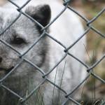 REFUGE PAGEAU – visite de l'équipe de TOUJOURS ARTISTE au refuge pageau de amos lors du festival du cinéma en abitibi témiscamingue, renard arctique polaire québec